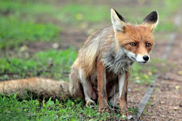 Бешеных лисиц убили в 50 километрах от Волгодонска