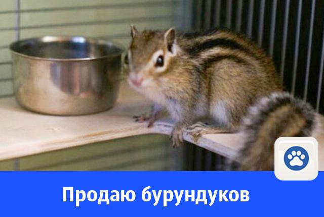 Очаровательных бурундучков продают в Волгодонске