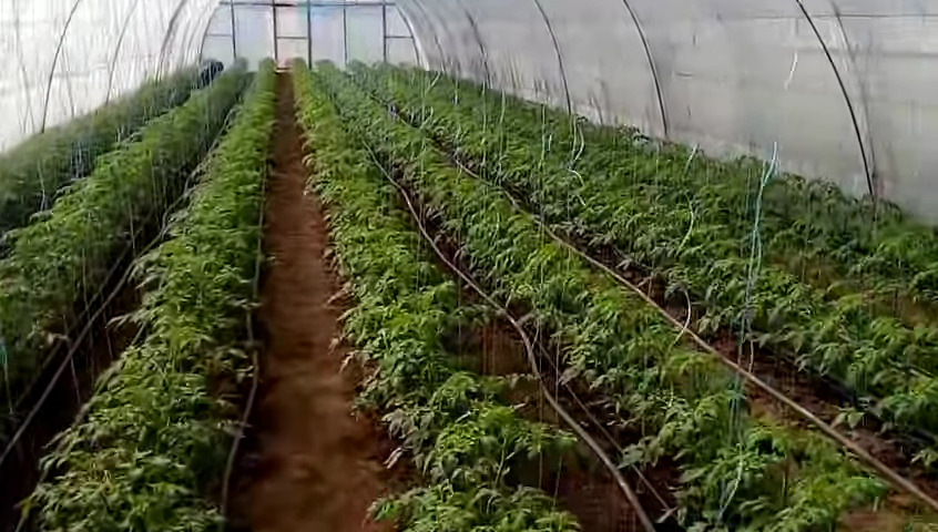 Как заработать на выращивание помидор 28